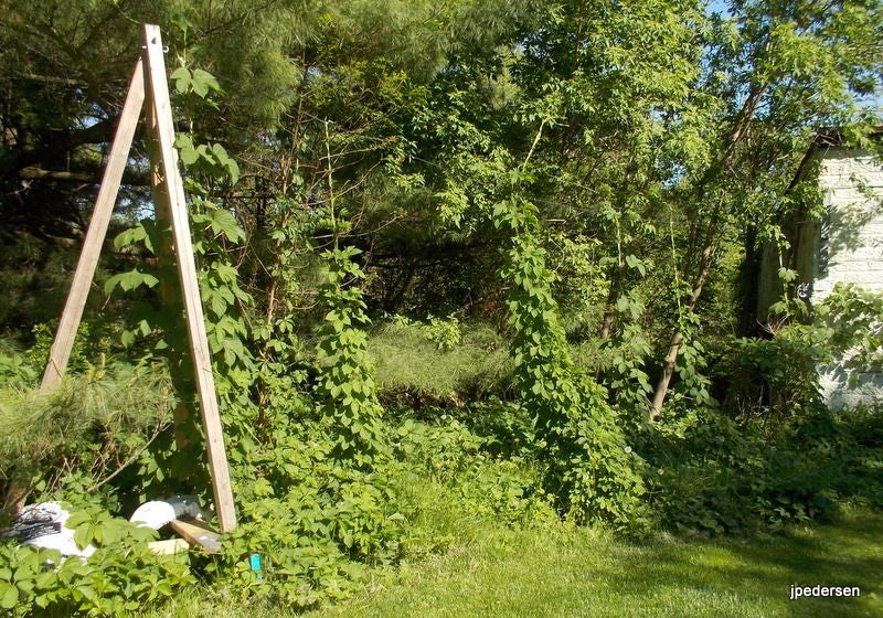Build Your Own Hops Trellis In Your Backyard